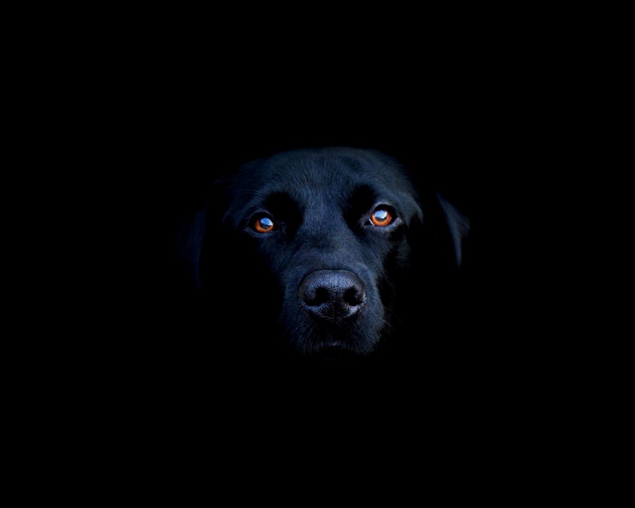 Fondo negro perro mirándote